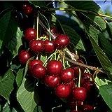 Sunburst Kirsche Süßkirsche Kirschbaum selbstfruchtend 120-150 2-jährig im 7,5 L Topf