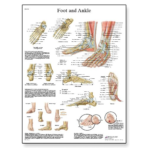 3B Scientific VR1176L Glossy Laminated Paper Foot and Ankle Anatomy and Pathology Chart, Poster Size 20