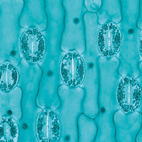 Lily Leaf Epidermis, w.m. Microscope ()
