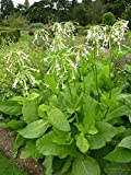 HOT - Woodland Tobacco - 10 000 Seeds - Nicotiana Sylvestris - Annual Flower