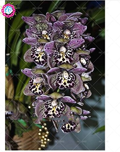 100PCS orchid-seed FLOWER seeds for home garden Phalaenopsis orchid seeds for home study buy-direct-from-china orquidea semente 2