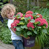 Ballhortensie 'Forever & Ever® Red'