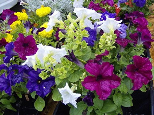 December01 & 250 MIXED COLORS PETUNIA Flower - First Tracking Class Mail International