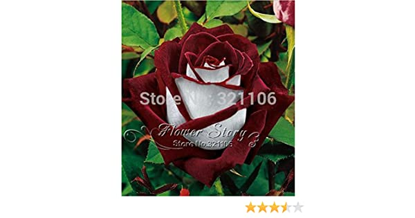 Rose Seeds Rare Osiria Rose Heirloom Chinese Rose Flower Seed Home Garden 100pcs