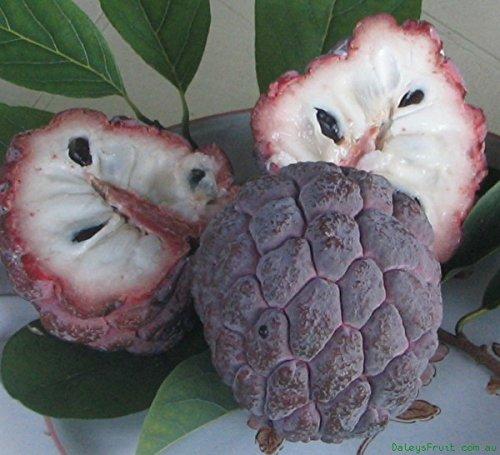 Annona Squamosa Sugar - M-Tech Gardens Tropical Sugar Apple - Purple Annona squamosa Fruit Seed for Growing 10 Seeds/Bag