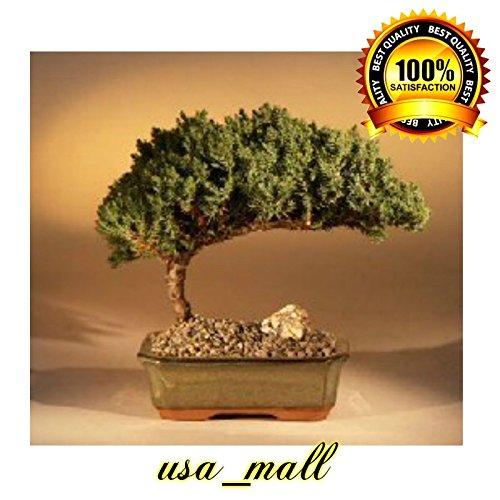Juniper Bonsai Tree Plant - Medium Juniper Procumbens Nana Outdoor Best Gift New by gk_usa_mall