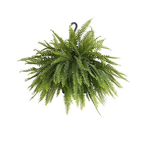 United Nursery Boston Fern, Live Indoor and Outdoor Hanging Basket Plant. 30