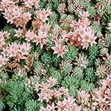 Outsidepride Sedum Hispanicum - 1000 Seeds