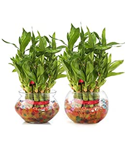 Erazor lucky mamboo Lucky Bamboo Plant with Big Round Glass Bowl and Coloured Jelly Balls (Green)