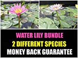Tropical Water Lily Bundle - Water Garden Live Pond Plant