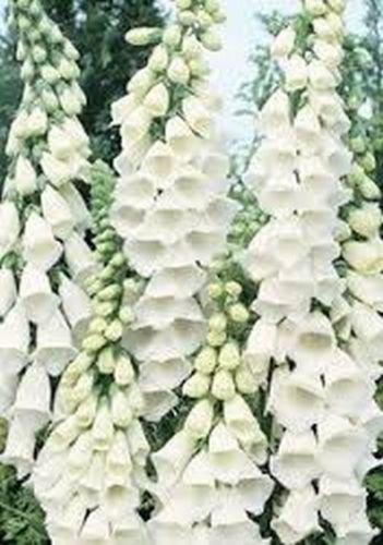 (Foxglove (Digitalis Purpurea Alba)- White- 250 Seeds)