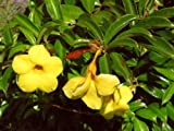 DWARF YELLOW ALLAMANDA Tropical Bush Shrub Live Plant Golden Yellow Trumpet Flowers Starter Size 4 Inch Pot Emerald tm