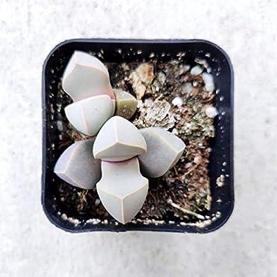 Karoo Rose Lapidaria margaretae Succulent | Live Split Rock Plant | Succulent Gift Decoration (2 inch) : Garden & Outdoor