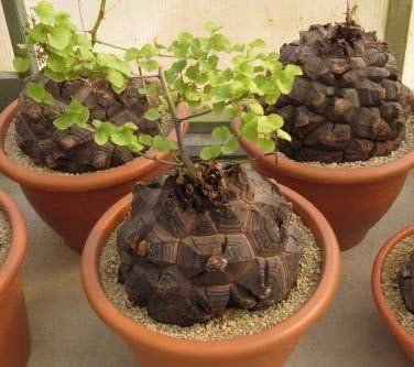 Dioscorea Elephantipes rare Testudinaria elephant foot yam Caudiciform 5 seeds