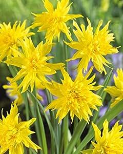 Narcissus Rip Van Winkle - Daffodil Rip Van Winkle - 5 / Narciso Rip Van Winkle - Daffodil Rip Van Winkle - 5 bulbos