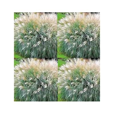 Seeds Chinese Silver Grass- Early Hybrids(miscanthus) get 25 Seeds : Garden & Outdoor
