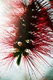 Crimson Bottlebrush (Callistemon Citrinus) Close-Up Of Blossom Poster Print (22 x 34)
