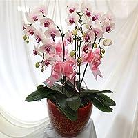 Las plantas de la venta caliente 100 PC / paquete semillas de orquídeas único de la flor de la orquídea Semillas jardín…