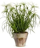 (GR)~CYPERUS PAPYRUS GRASS~Seed!~~~~~~~Take A Wonderful Trip Down the Nile!