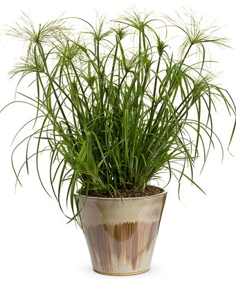 - (GR)~CYPERUS PAPYRUS GRASS~Seed!~~~~~~~Take A Wonderful Trip Down the Nile!