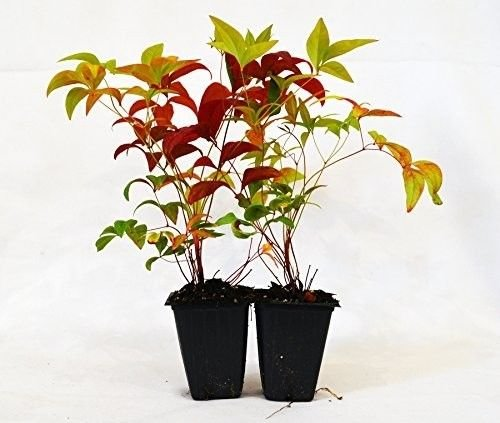 Nandina Domestica Fire Power Heavenly Bamboo 2 Pack Plant Outdoor Best Gift NEW