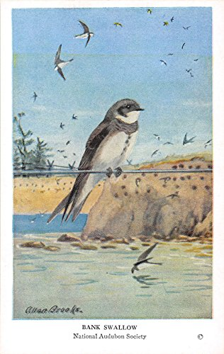 Bank Swallow 1939 Audubon Summer Birds of Eastern North America #31 (VG+)