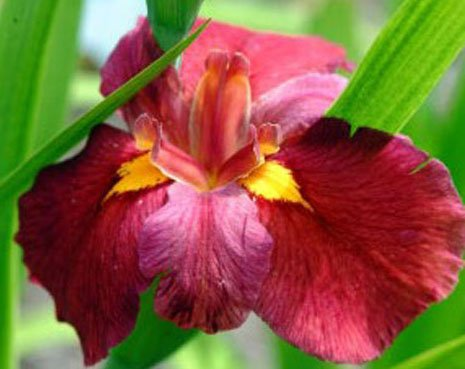 Red Iris - 1