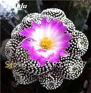 100 semillas PC Verdadero Cactus, Mini cactus, higo chumbo, japoneses Semillas Las suculentas Bonsai Flor, Planta de tiesto para jardín 2