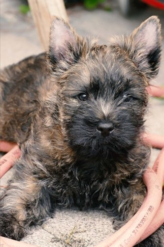 Journal: Cairn Terrier: 140 Page 6
