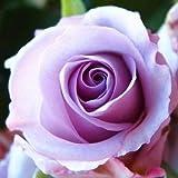 100 PCS Seeds purple rose flower seeds lover Violet rose flower seeds Plants Home Garden