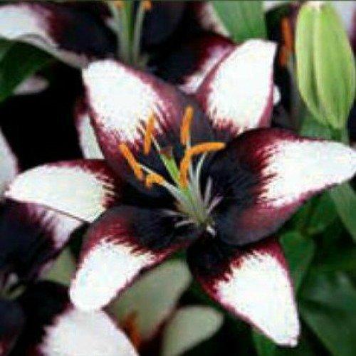 - Black Eye Asiatic Lily - 2 Bulbs