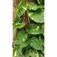 Efeutute Epipremnum aureum Pflanze 5-10cm Ampelpflanze Goldene Efeutute Rarität