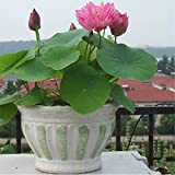 Beautiful Aquatic Mini Lotus Flowers 10 Seeds Mixed Colors