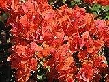 Bougainvillea - 'Flame' - pre-bonsai
