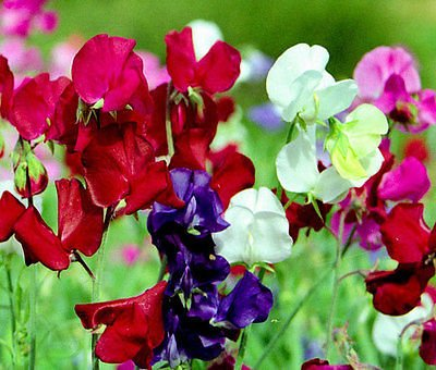 SWEET PEA BIJOU DWARF MIXED COLORS Lathyrus - 110 Bulk Seeds