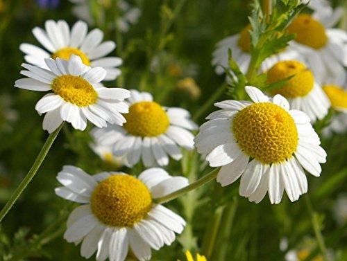 (Seeds Chamomile Medicinal Wild Herb Flower Garden Cut Organic Heirloom Ukraine)