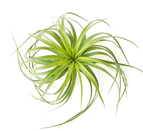 The Drunken Gnome AIR PLANTS – BRACHYCAULOS MULTIFLORA – 1 PACK - air purifying flowering tillandsia for terrarium, fairy garden starter kit, home office, indoor outdoor, corporate gift