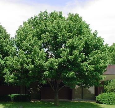 50 White Ash Tree Seeds, Fraxinus Americana