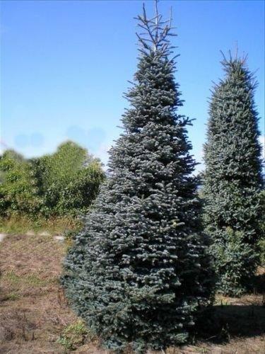 Noble Fir Christmas Tree.Amazon Com 100 Noble Fir Tree Seeds Christmas Tree