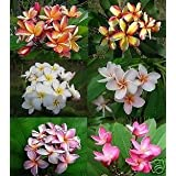 Plumeria mixed seeds 10 seeds Fresh&High Quality seeds
