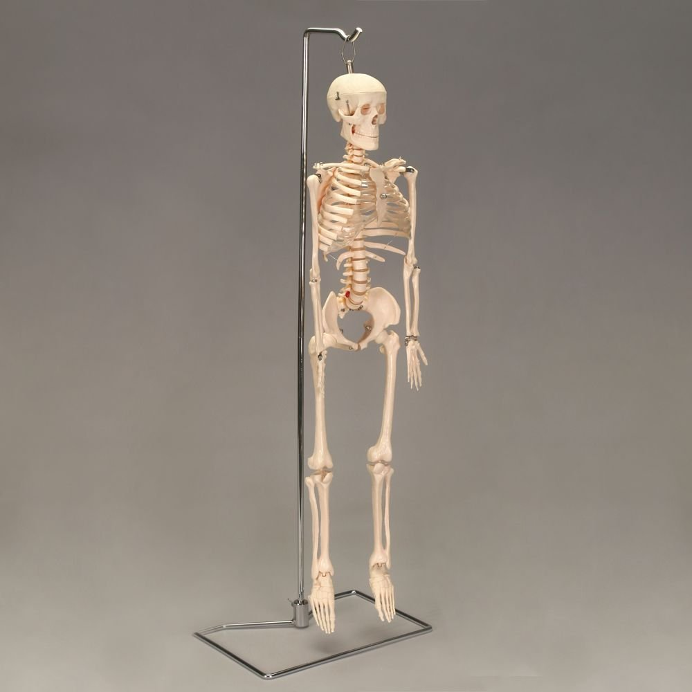 Human Desktop Mini Skeleton by Carolina Biological Supply Company (Image #1)