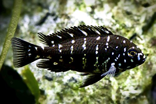 WorldwideTropicals Live Freshwater Aquarium Fish - 1.5