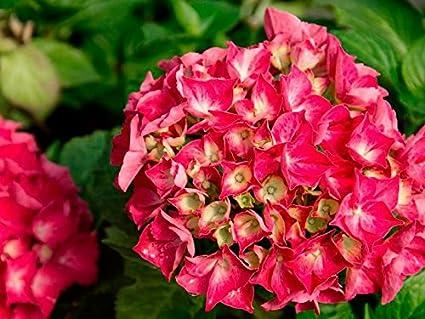 "Hydrangea macrophylla Cityline Paris Live Plant Intense Red Proven Winners 4/""Pot"