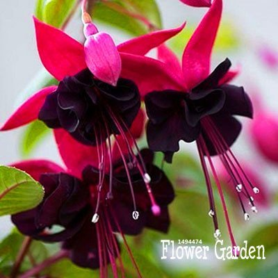 deep purple and hot pink fuchsia flowers