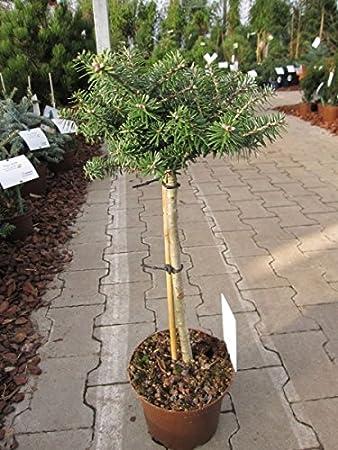Abies Koreana Cis Zwergkoreatanne Cis Stamm 40cm Amazonde Garten