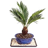 "Brussel's Live Sago Palm Indoor Bonsai Tree - 8 Years Old; 8"" to 12"" Tall with Decorative Container, Humidity Tray & Deco Rock"