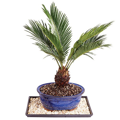 Brussel's Sago Palm Bonsai - Medium (Indoor) with Humidity Tray & Deco Rock