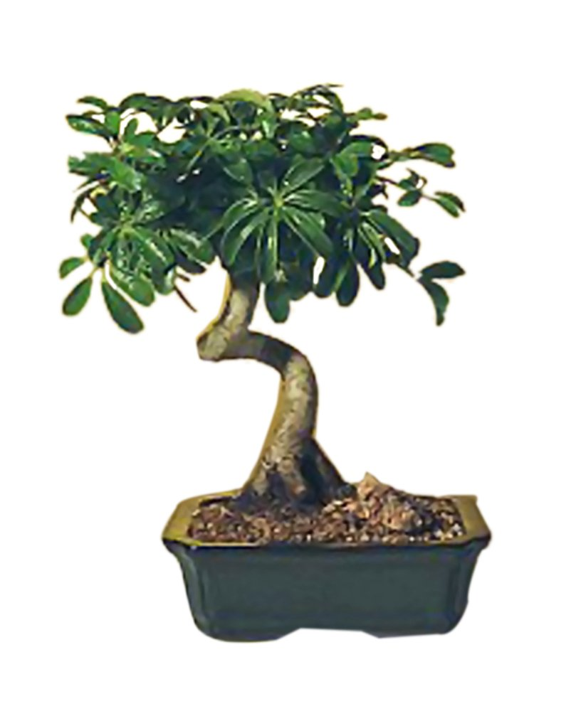 Amazon Com Bonsaiboy Hawaiian Umbrella Bonsai Tree Medium Coiled Trunk Style Arboricola Schefflera Luseanne Grocery Gourmet Food