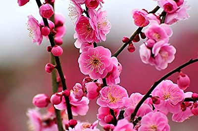 JAPANESE FLOWERING APRICOT TREE - Prunus mume - 2 - YEAR PLANT by Japanese Maples and Evergreens