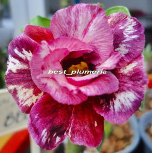 "20 - Fresh Rare "" Beauty Party "" Adenium Obesum Seeds - B..."